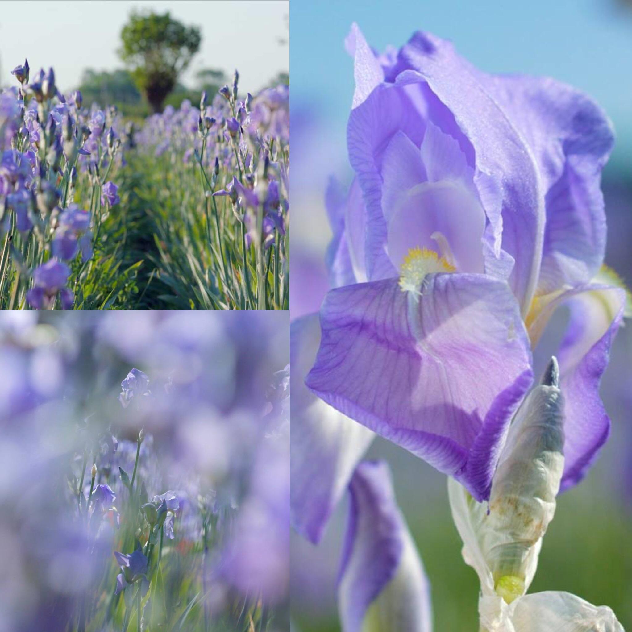 Dans les champs de CHANEL Iris Esprit de Gabrielle espritdegabrielle.com