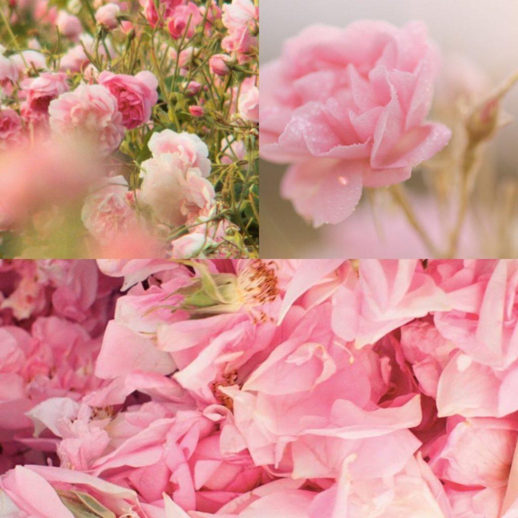 Dans les champs de CHANEL Rose Esprit de Gabrielle espritdegabrielle.com