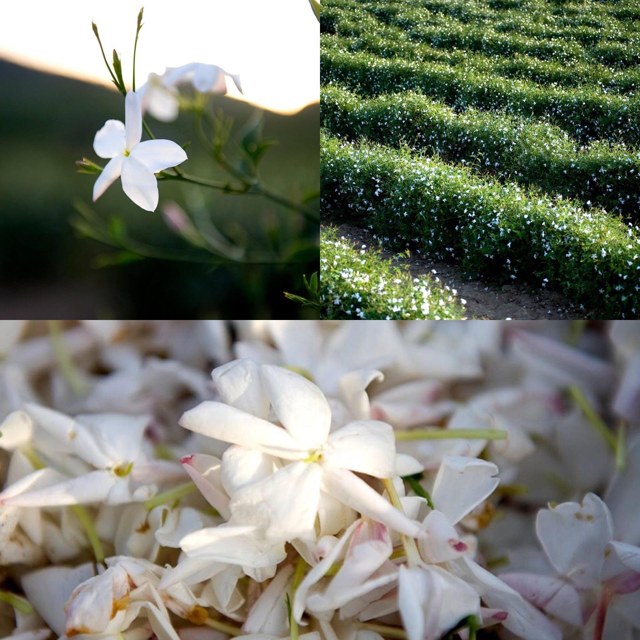 Dans les champs de CHANEL jasmin Esprit de Gabrielle espritdegabrielle.com
