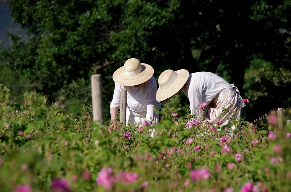 Dans les champs de Chanel récolte rose Esprit de Gabrielle espritdegabrielle.com