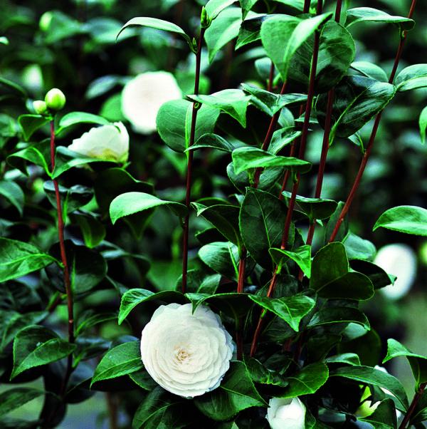 CHANEL Camellia japonica Dans les serres de CHANEL Esprit de Gabrielle espritdegabrielle.com