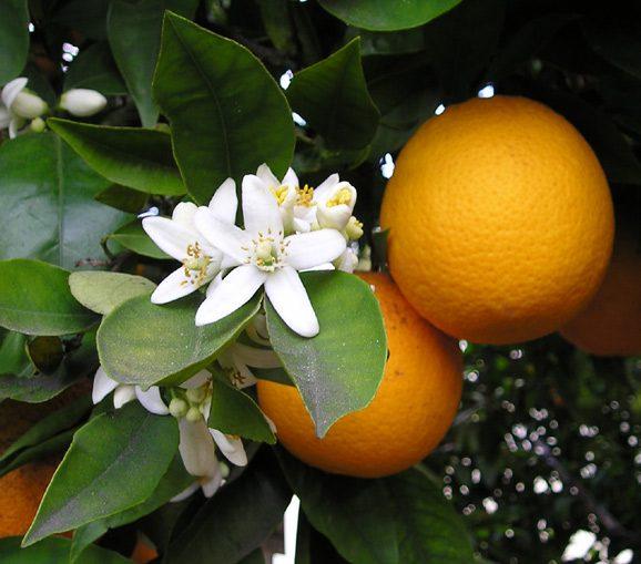 Orangers bigaradiers Vallauris CHANEL Esprit de Gabrielle espritdegabrielle.com
