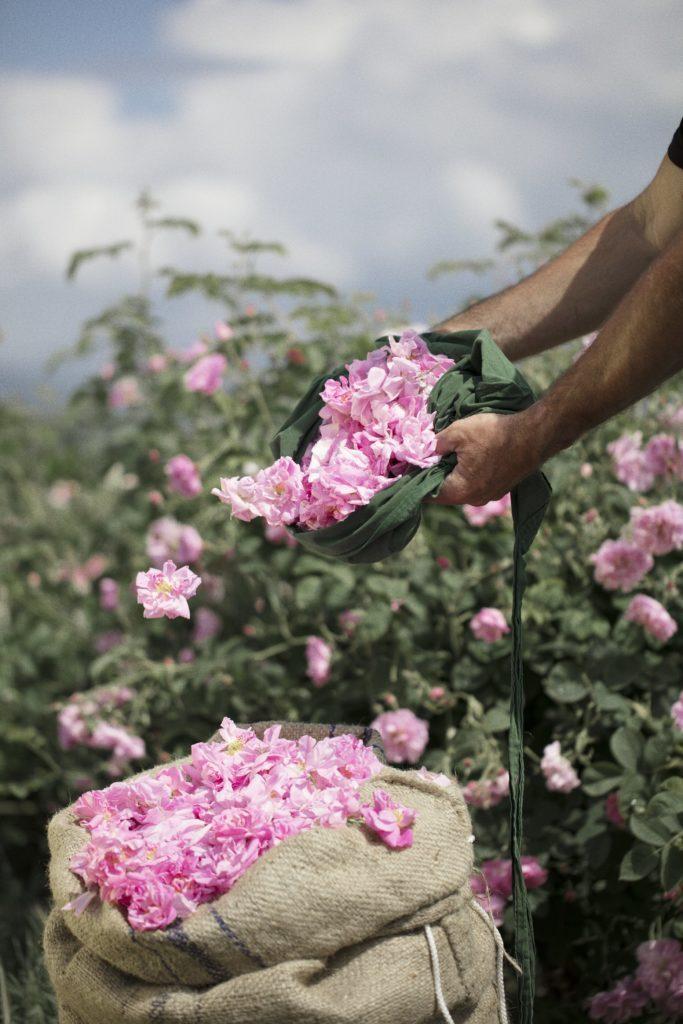 Dans les champs de Chanel Rose de Mai Esprit de Gabrielle espritdegabrielle.com