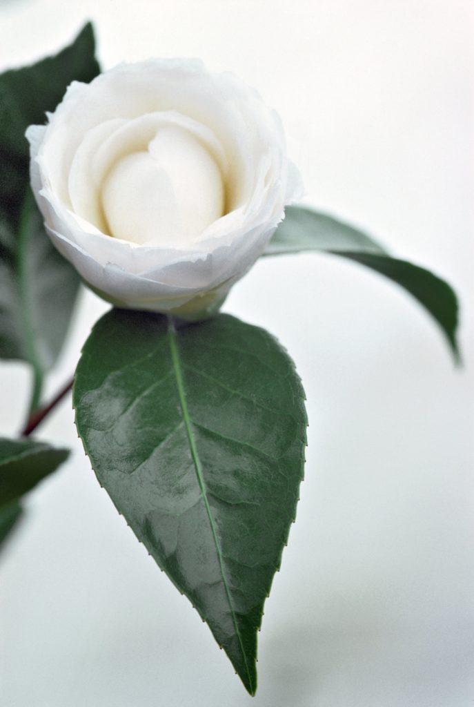 CHANEL BEYOND THE JAR Camellia japonica Esprit de Gabrielle espritdegabrielle.com